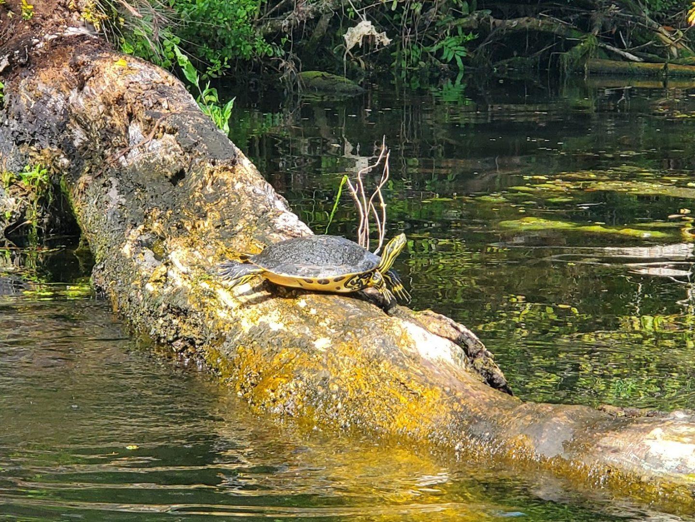 Turtle at Chassahowtizka River near Tampa Bay